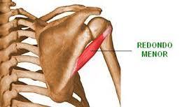 origen insercion y funcion del musculo redondo mayor