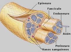 cubiertas nervio periférico