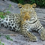 leopard-515508__180