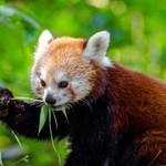 red-panda-958256__180