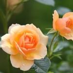 rose-616013__180