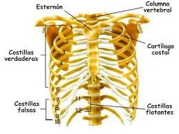 Tipos de costillas