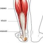 anatomía: músculo gastrocnemio