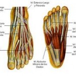 Músculos intrínsecos del pie