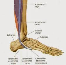 músculo peroneo corto