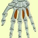 anatomia: musculos interóseos palmares