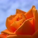 rose-177890__180