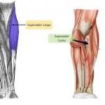 musculo supinador