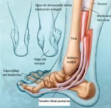 Musculo Tibial Posterior Blog De Fisioterapia